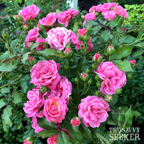 pink_miniature_knock_out_roses